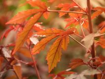 Érable japonais dans la forêt se tournant vers la couleur rouge en automne images libres de droits