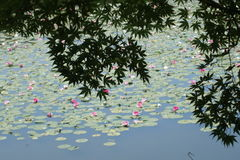 Érable japonais et lotus sur la piscine Photos libres de droits