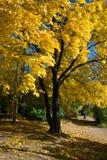Érable jaune Photos libres de droits