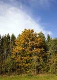 Érable jaune dans une petite forêt Photographie stock libre de droits