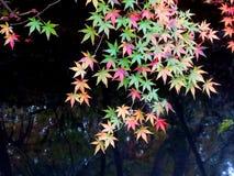 Érable Kong de jardin botanique de Nanjing Zhongshan Photographie stock libre de droits