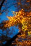 Érable Kyoto 01 du Japon Image libre de droits