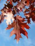 Érable rouge à l'automne Images libres de droits