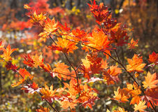 Érable rouge d'automne Photographie stock