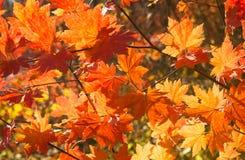 Érable rouge d'automne Photographie stock libre de droits