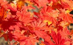 Érable rouge d'automne Photo libre de droits