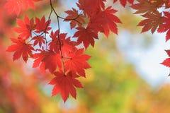 Érable rouge en automne en Corée [Foyer, fond mous] Images libres de droits