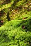 Érable rouge et fond vert de mousse Photographie stock libre de droits