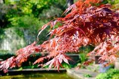 Érable rouge japonais rouge lumineux de palmatum d'ader Images libres de droits