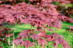 Érable rouge japonais rouge lumineux de palmatum d'ader Photo stock
