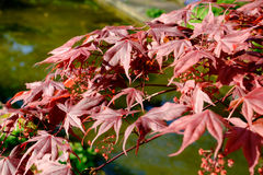 Érable rouge japonais rouge lumineux de palmatum d'ader Photos libres de droits