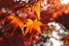 Érable rouge, Kyoto, Japon Images libres de droits