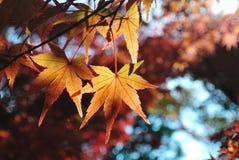 Érable rouge, Kyoto, Japon Images stock