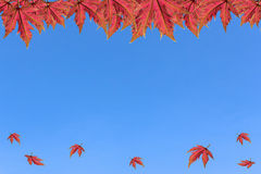 Érable sur le ciel clair Photos libres de droits