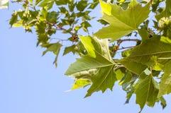 Érable vert Images stock