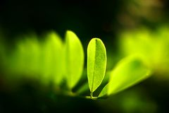Érable vert Images libres de droits