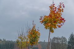 Érables avec les feuilles colorées photos stock
