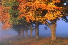 Érables d'automne Photographie stock libre de droits