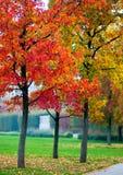 Érables d'automne Photos stock