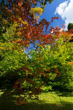 Érables dans Westonbirt Arboterum 1 Image stock