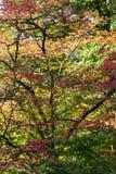 Érables dans Westonbirt Arboterum 2 Image libre de droits