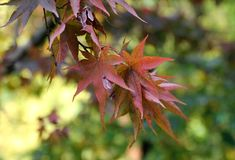 Érables de chute - palmatum d'Acer au jardin botanique Images libres de droits