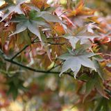 Érables de chute - palmatum d'Acer au jardin botanique Photo stock