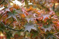 Érables de chute - palmatum d'Acer au jardin botanique Images stock