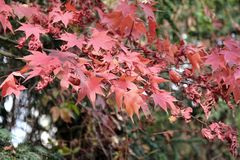 Érables de chute - palmatum d'Acer - au jardin botanique Photos libres de droits