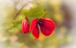 Érables fleurissants rouges photos libres de droits