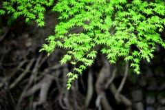 Érables japonais au printemps Photo stock