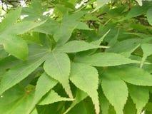 Érables japonais de palmatum d'érable de lune d'Acer étroits des feuilles Images stock