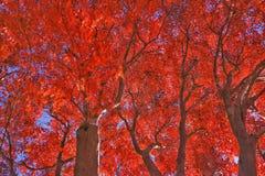 Érables rouges images stock