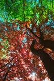 Érables rouges et verts de ressort photographie stock libre de droits