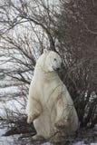 Éraflure d'ours blanc et une mastication images stock
