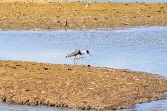 Éraflure du héron gris dans le Hengforderwaarden, la Hollande Image stock