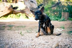 Éraflure thaïlandaise de chien noir irritante sa jambe images stock