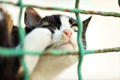Éraflures de patte de chat derrière la fin d'oreille  Puces et coutils chez les animaux domestiques photographie stock
