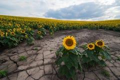 Érosion du sol de la vue de gisement de tournesol photos stock