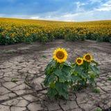 Érosion du sol du gisement de tournesol images stock