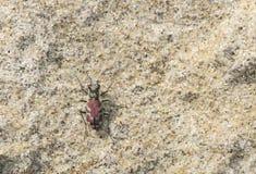 Éruption Tiger Beetle (lengi de Cicindela) en Sandy Habitat sur le P Image stock