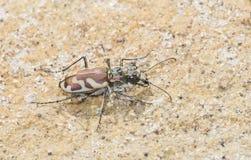 Éruption Tiger Beetle (lengi de Cicindela) en Sandy Habitat sur le P Photo libre de droits