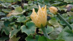 Ésta es flor de Kumur imagen de archivo