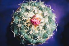 Ésta es flor del cacto Fotos de archivo libres de regalías