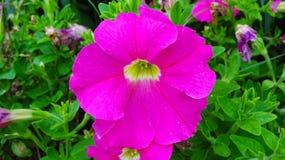 Ésta es la flor del hybrida de la petunia imagen de archivo