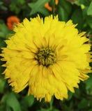 Ésta es la foto de la flor del girasol que mira hermosa en color amarillo fotografía de archivo