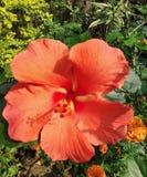 Ésta es la foto de la flor del ossam gulmohar de las miradas en luz del sol imagen de archivo libre de regalías