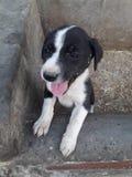 Ésta es la foto de un perrito que muestra que su lengua el ver alguien parece hermoso foto de archivo