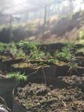Ésta es plantación del árbol de navidad fotografía de archivo libre de regalías