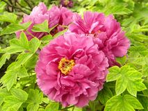 Ésta es una flor de la peonía y también la flor nacional de China imagenes de archivo